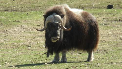 Bull Musk Ox at the Large Animal Research Station